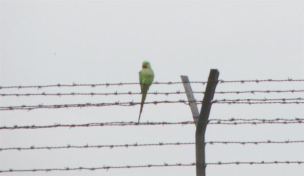 Parakeet on a fence