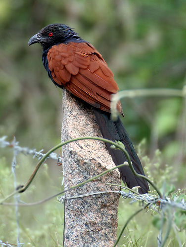 Greater Coucal