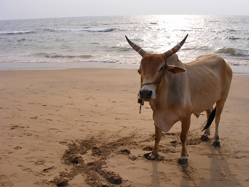 Bull on Anjuna beach, Goa