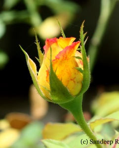 Rose bud, EOS 450D 18-55mm IS F9 1/125 ISO200