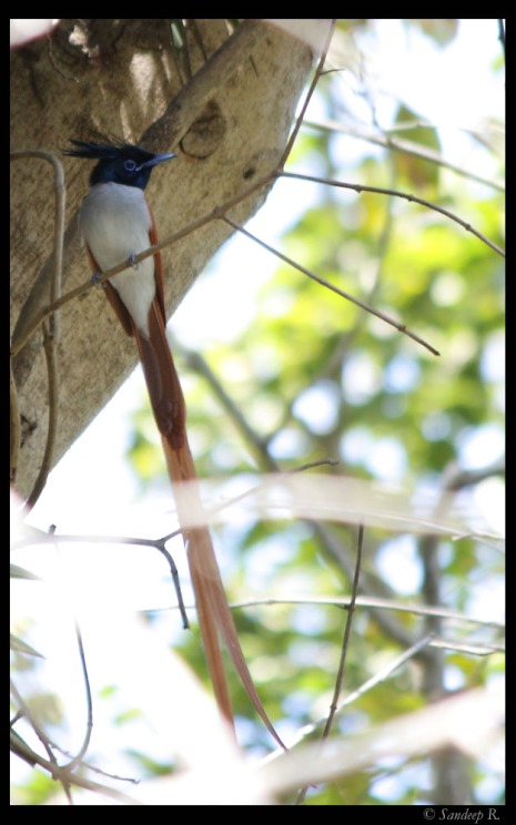 Asian paradise flycatcher at Valley school