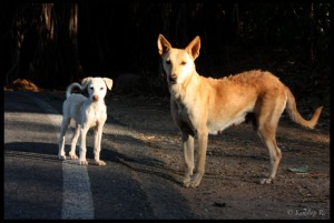 Inquisitive dog and pup, Byramangala lake