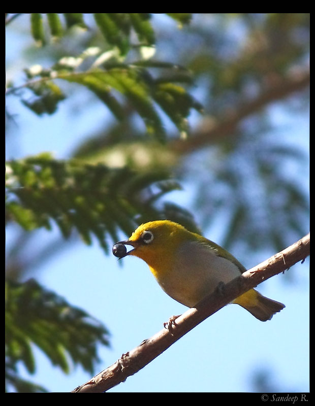 Oriental white eye - Valley School