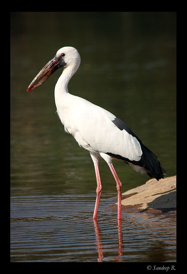 Open billed stork, obvious why it is called so, isn't it?