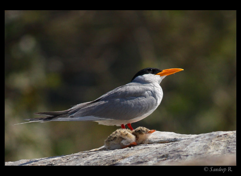 River-tern-with-chic