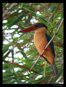 Stork billed kingfisher first catch