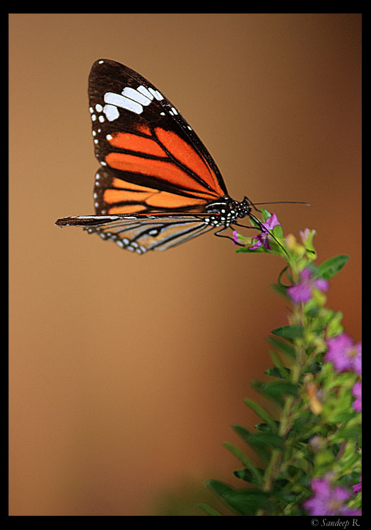 striped-tiger-on-flower
