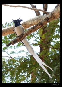 Asian Paradise Flycatcher (male)