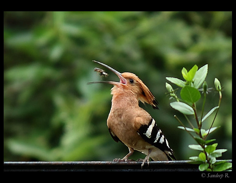cute images of animal hoopoe bird poster
