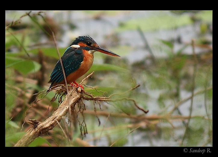common-kingfisher