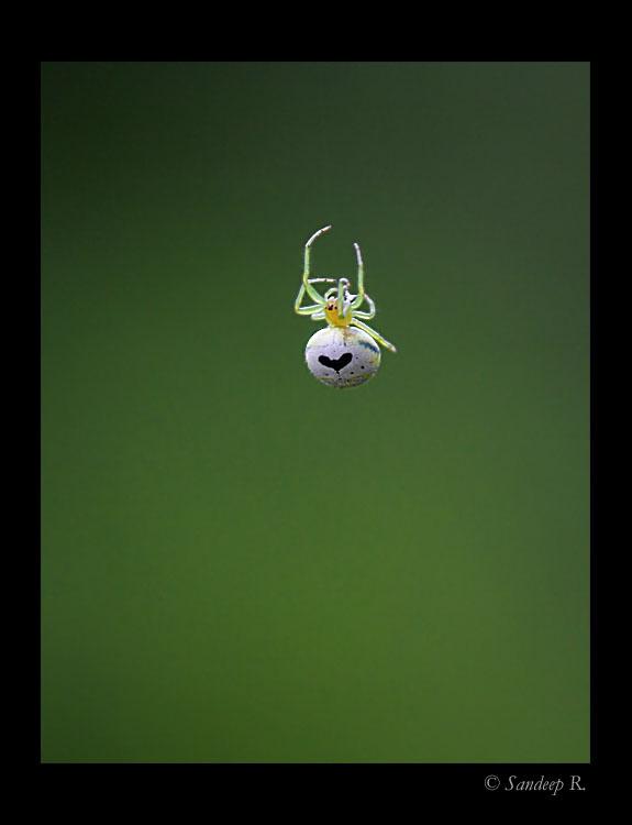 Araneus-Mitifica