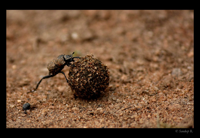 beetle-rolling