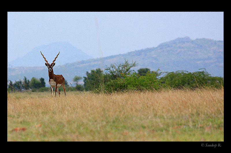Black-Buck-Maidenahalli