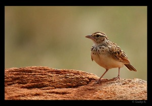 Indian-Bushlark