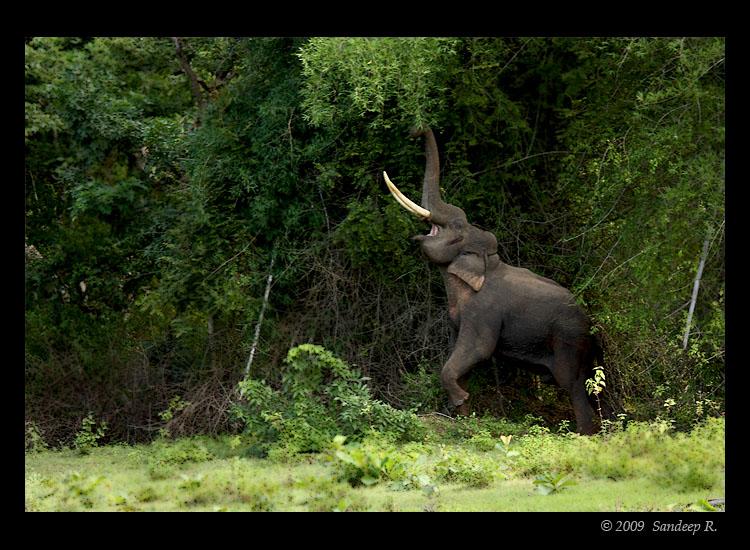 Tusker-elephant-Bandipur