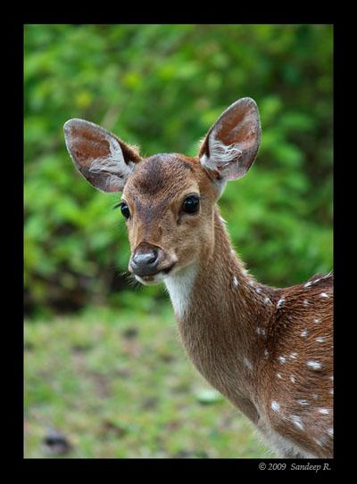 Deer-fawn-alert