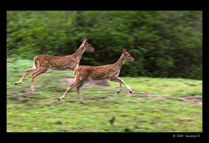 spotted-deer-running