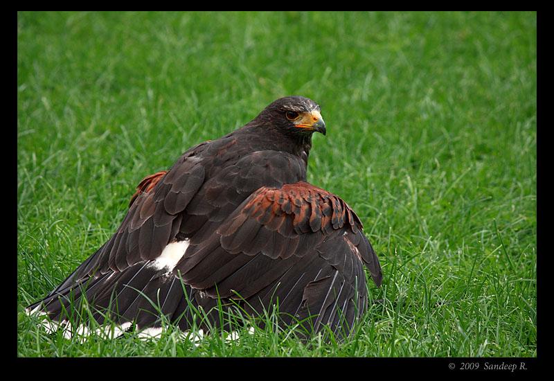 Harris-Eagle