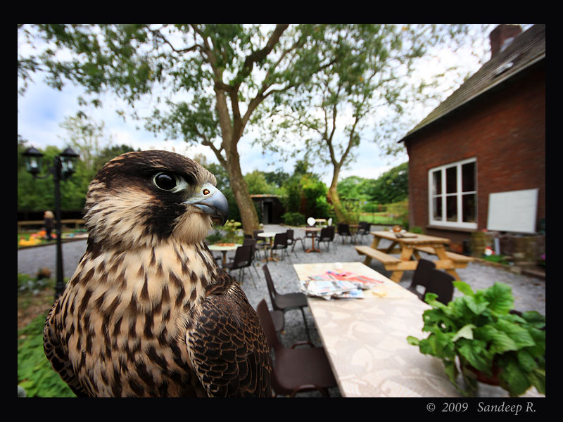 Peregrine Falcon - fastest bird on earth