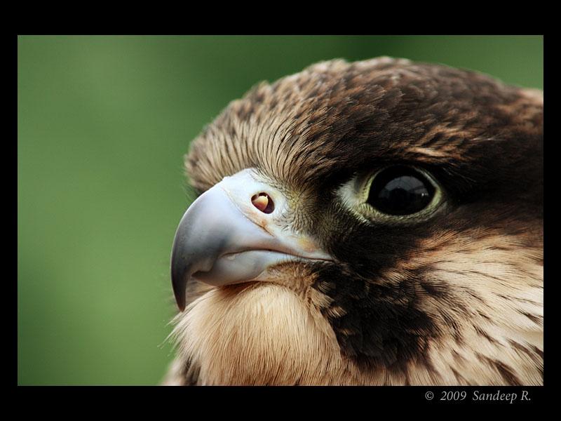 Peregrine-Falcon-Portrait