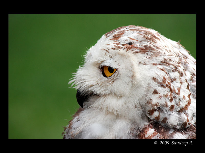 Snow-Owl-Portrait