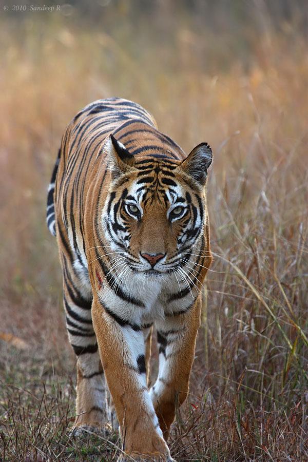 Tiger Walking Down