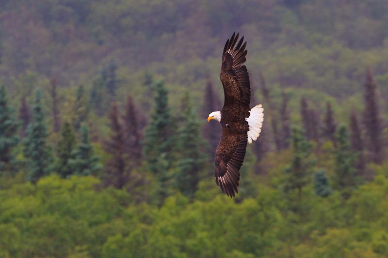 Bald-Eagle-Brooks-Camp-6924