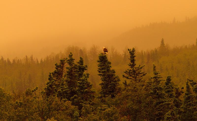 Bald Eagle Scape Sunset Alaska