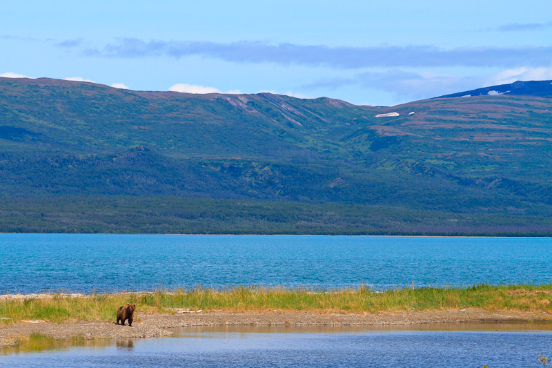 Brown Bear Scape and Naknek Lake Alaska