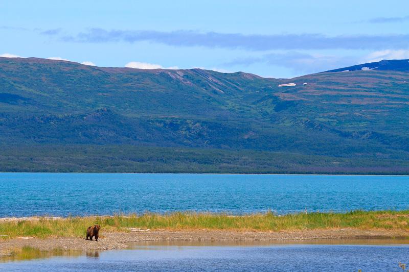 Brown Bear Scape and Naknek Lake Alaska
