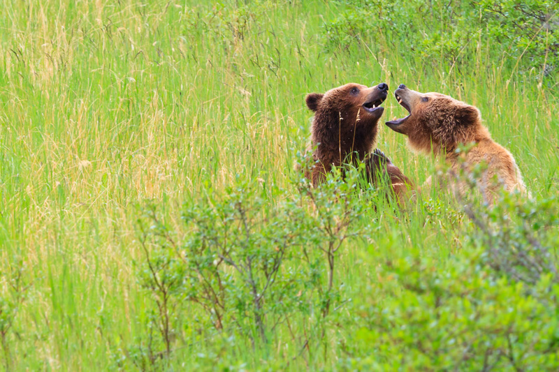 Brown Bears Courtship alaska