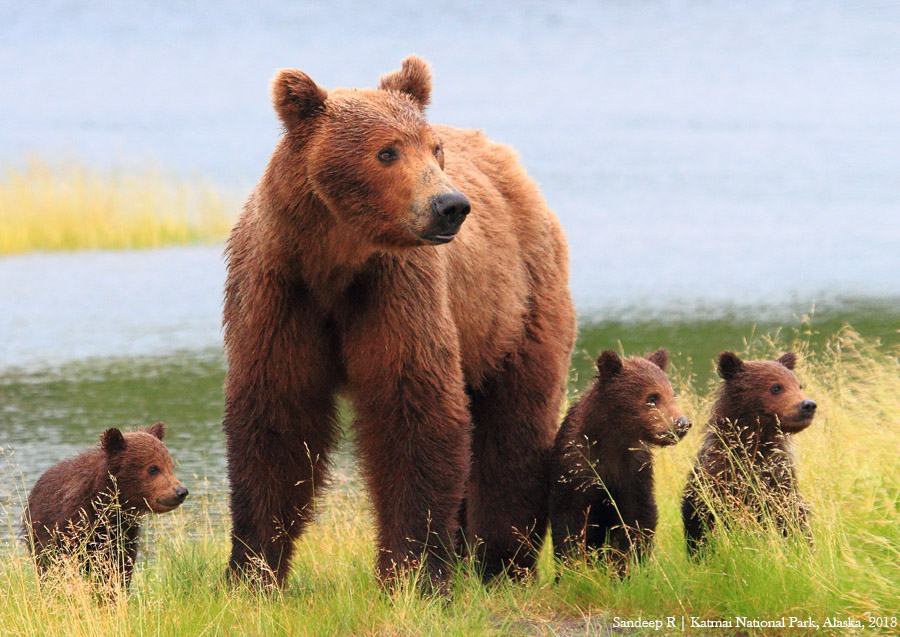 Alaskan-Brown-Bear-Sow-with-Cubs