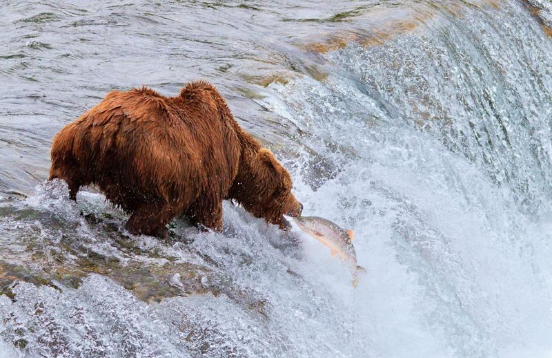 Bear-catching-Salmon-6260
