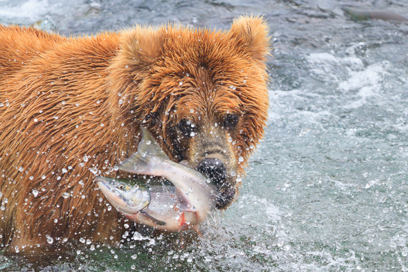 Bear killing a salmon alaska