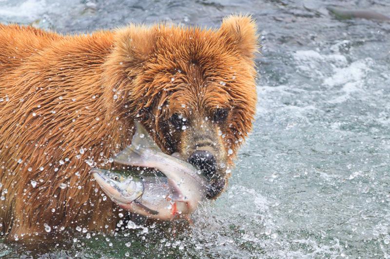 Bear killing a salmon alaska