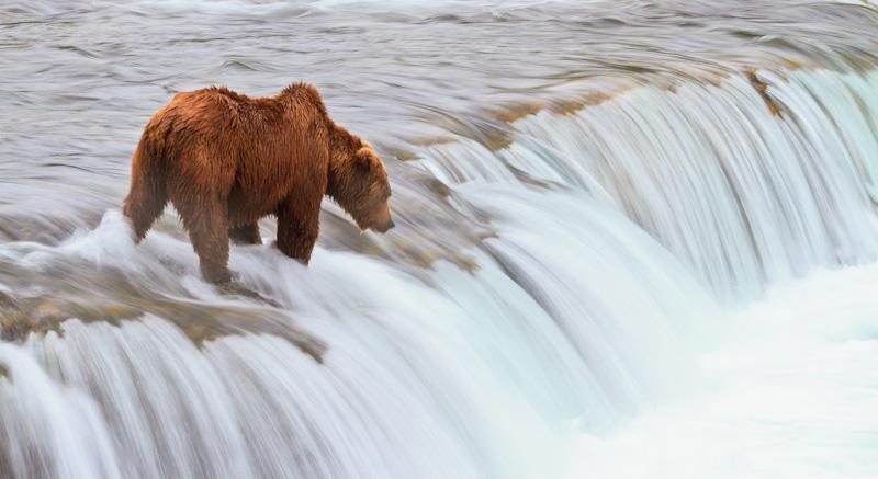 Bear-waiting-waterfalls-Brooks-Falls-6279