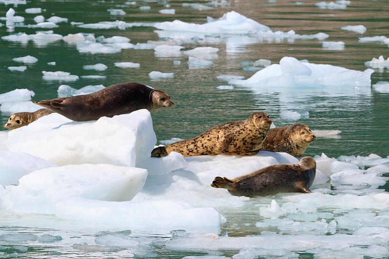 Harbor Seals, Alaska