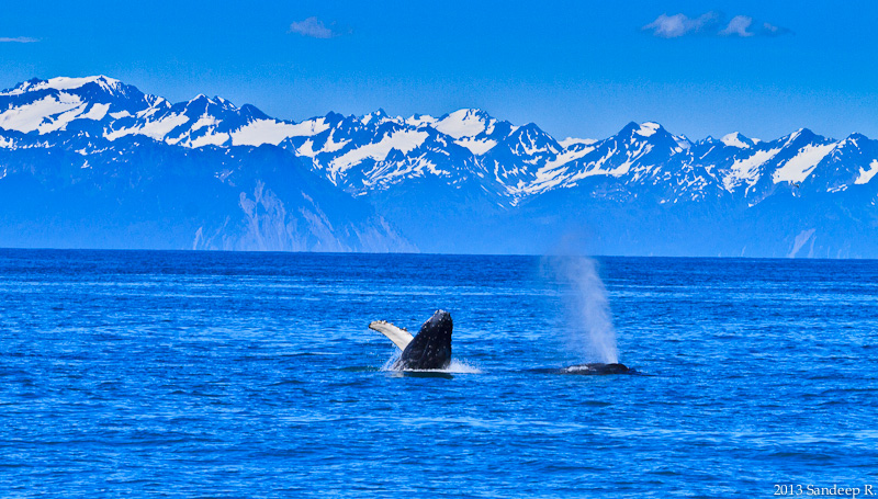 Alaska-Seward-Resurruction-Bay-Humpback-Whale-Calf-8116