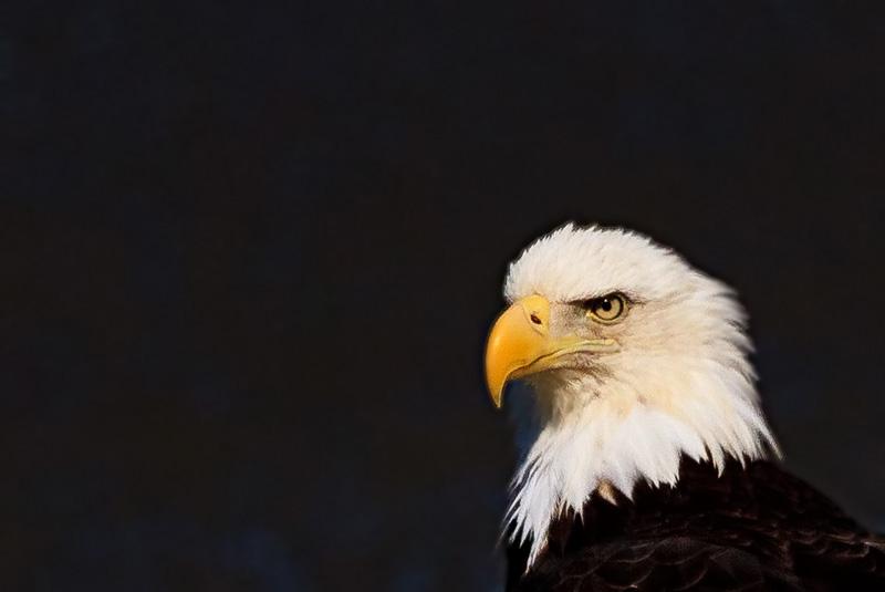 Bald-Eagle-Portrait