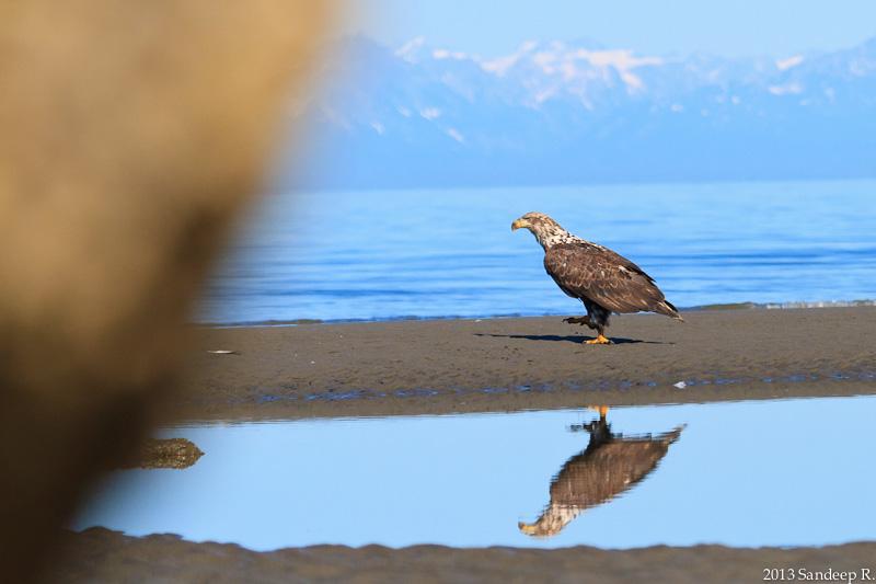 Juvenile-Bald-Eagle-Alaska-8347