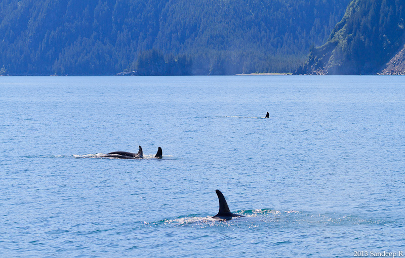 Orca-Killer-Whale-Pod-Alaska-Seward-Resurruction-Bay-8047