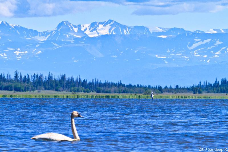 Swan-Tundra-Trumpter-Alaska-Homer